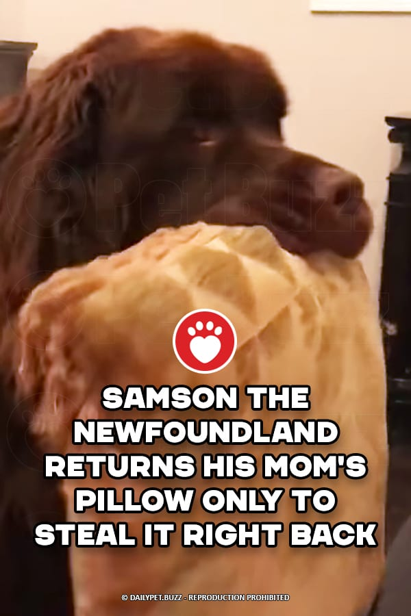 Samson The Newfoundland Returns His Mom\'s Pillow Only To Steal It Right Back
