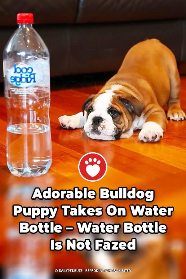 Adorable Bulldog Puppy Takes On Water Bottle – Water Bottle Is Not Fazed