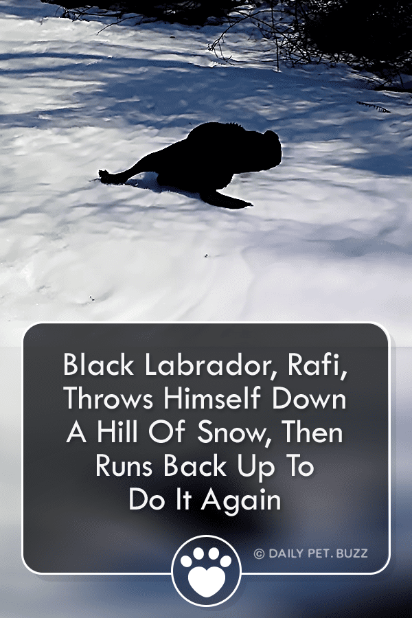 Black Labrador, Rafi, Throws Himself Down A Hill Of Snow, Then Runs Back Up To Do It Again