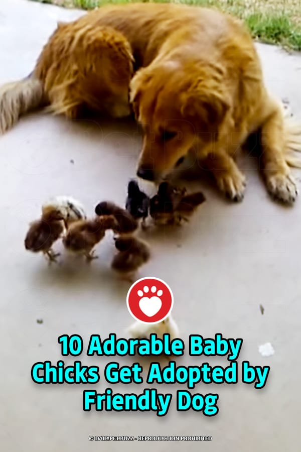 10 Adorable Baby Chicks Get Adopted by Friendly Dog