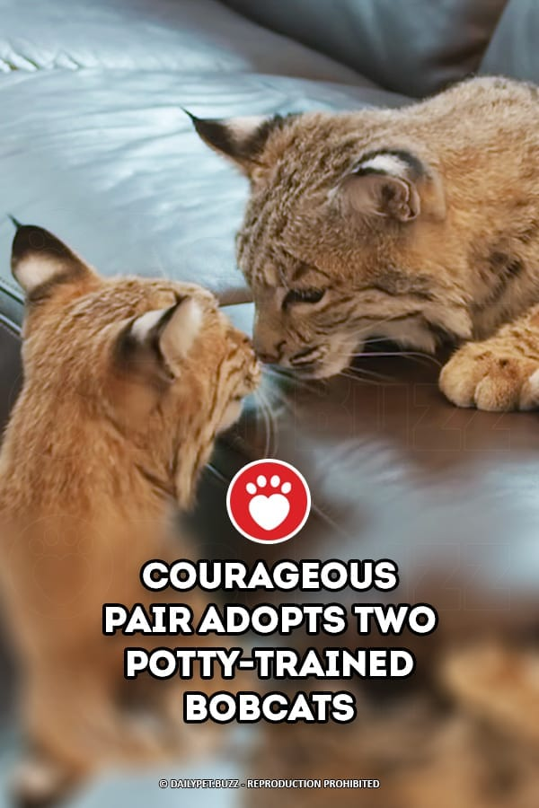 Courageous Pair Adopts Two Potty-Trained Bobcats