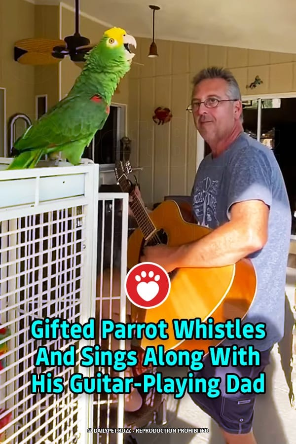Gifted Parrot Whistles And Sings Along With His Guitar-Playing Dad