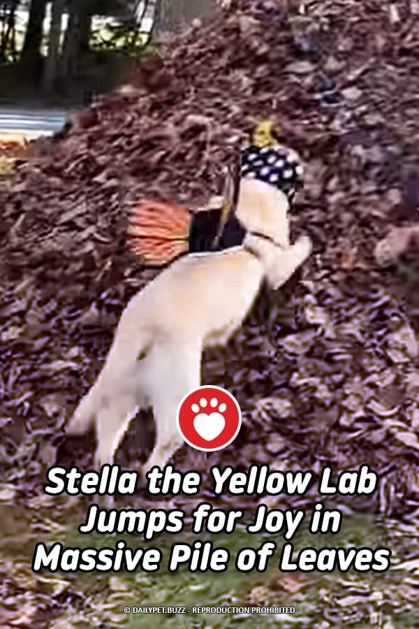 Stella the Yellow Lab Jumps for Joy in Massive Pile of Leaves